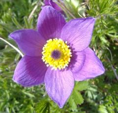 Lucy Vertue - Little World Herbs, Woodchurch Kent.